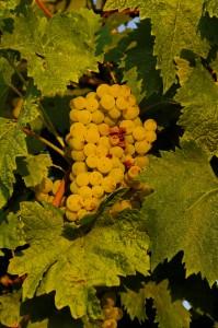 Verdicchio Grapes