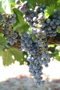 Zin Grapes