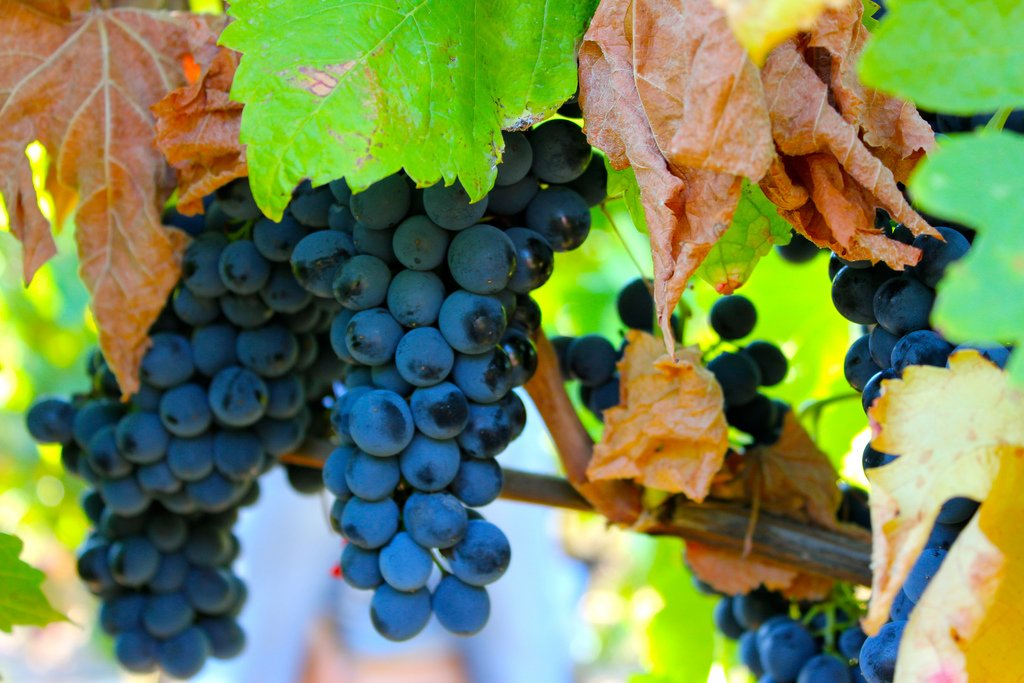 Syrah Grapes