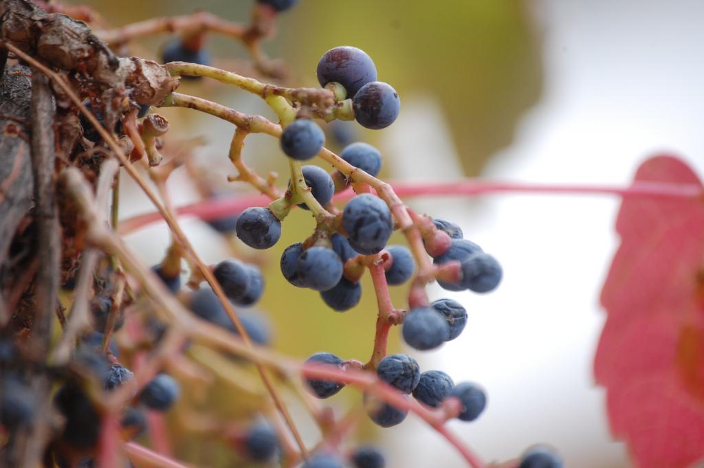Carmenere Grapes