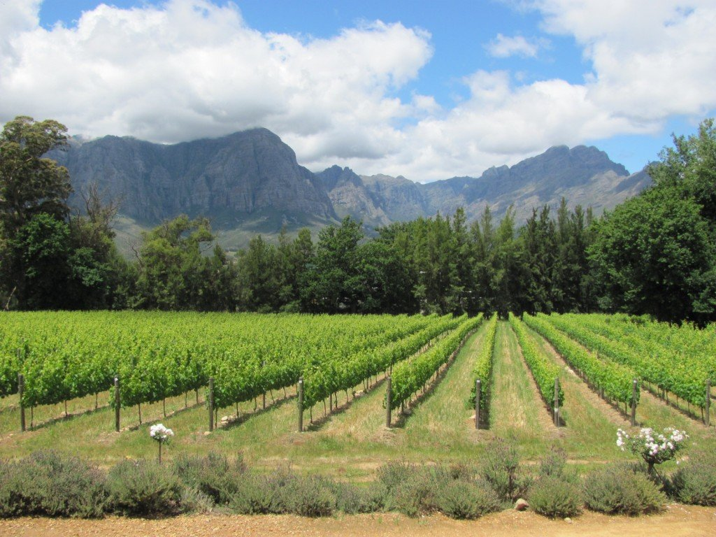 South Africa: Going for Gold in Their Vineyards