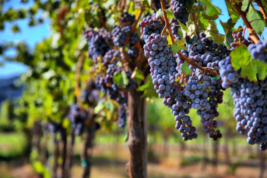 pinot-noir-grape-1024x682.jpg