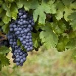 Mencia: Spain's Other Great Red Varietal
