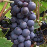 Cabernet Sauvignon: The World's Reigning Grape Varietal