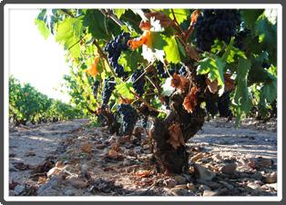 Old Vine Tempranillo Grapes