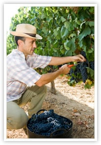 A Winemaker in Spain Harvests His Grapes